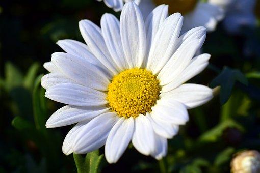 Marguerite, Blossom, Bloom, White, Flower, Bloom, Plant