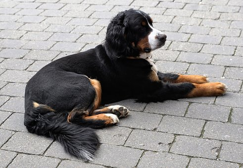 Dog, Animal, Black, White, Patch, Recovery, Relaxation