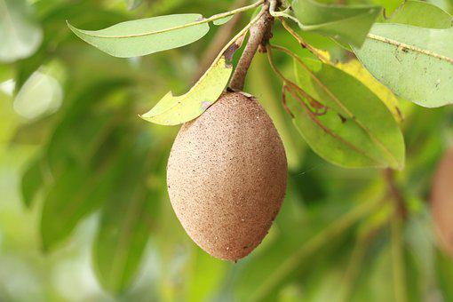Sapodilla, Fruit, Food, Agriculture, Nature, Delicious
