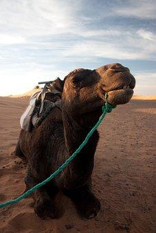 Camel, Desert, Portrait, Morocco, Sand, Nomad