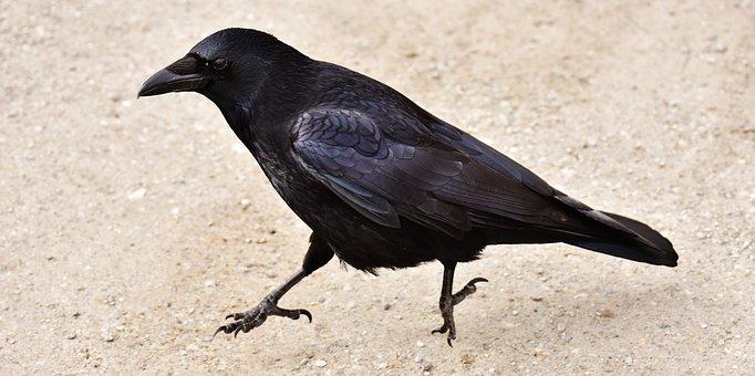 Raven, Crow, Hop, Search For Food, Bird, Raven Bird