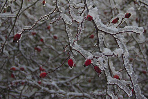 Rose Hips Covered With Ice, Bush, Rose Hip, Iced, Frost