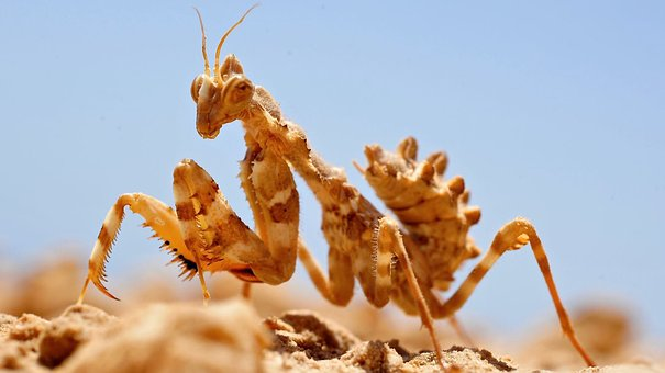 Amantide, Insects, Insect, Nature, Desert