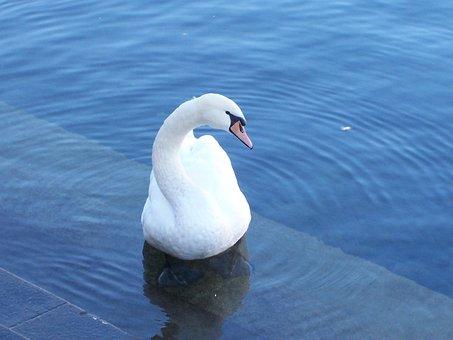 Swan, Lucerne, Lake