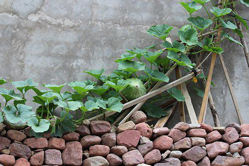 Green Vine, Melon, Fence, The Yard, In Rural Areas