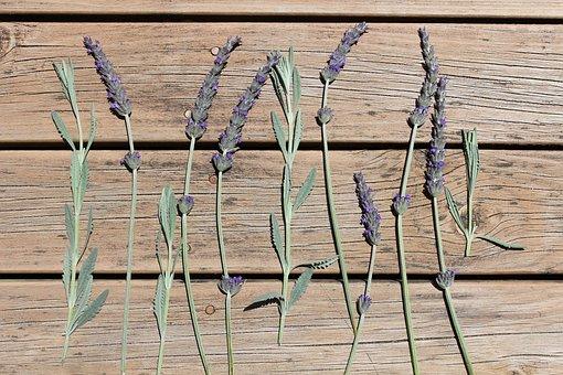 Australian, Lavender, Flowers, Nature, Native, Plant
