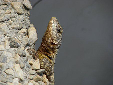 Lizard, Animal, Animals, Nature, Reptile, Eye, Reptiles