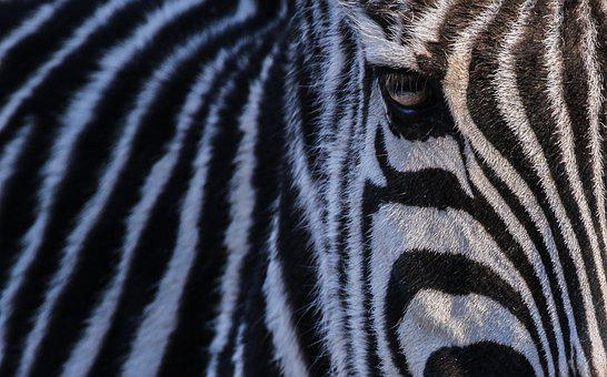 Zebra, Zoo, Nature, Head, Black And White, Africa