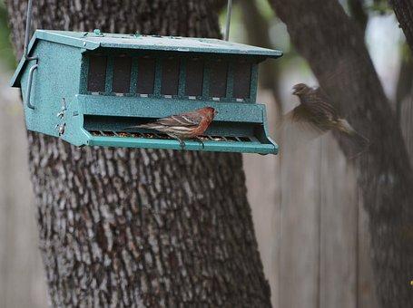 House, Finch, Feeder, Bird, Avian, Red, Wild, Perched
