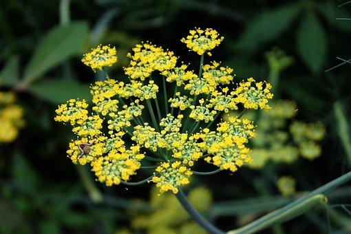 Fennel, Flower, Herb, Plant