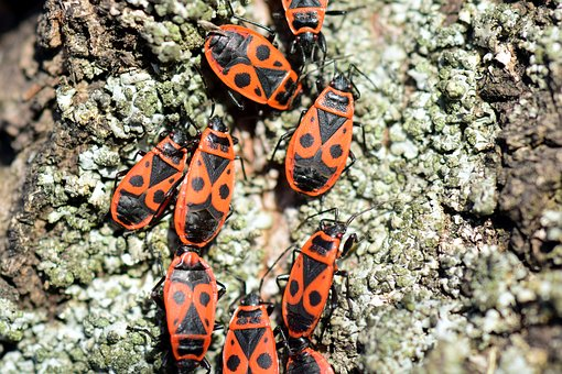 Fire Bug, Pyrrhocoris Apterus, Reproduction