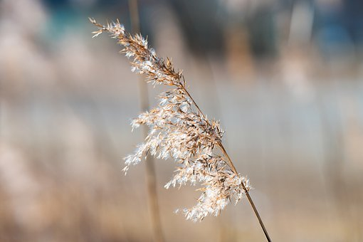 Reed, Sun, Nature, Light, Sunlight, Water, Outdoor