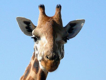 Giraffe, Rothschild, Kenya, African, Mammal, Nature