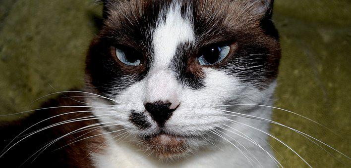Cat, Siamese, Mix, Attitude, Whisker, Whiskers, Animal
