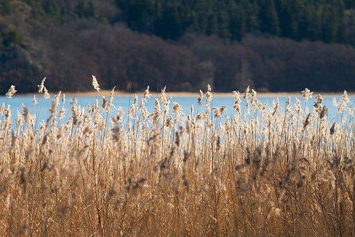 Reed, Sun, Nature, Light, Sunlight, Lake, Water