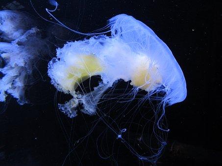 Medusa, Aquarium, Vancouver