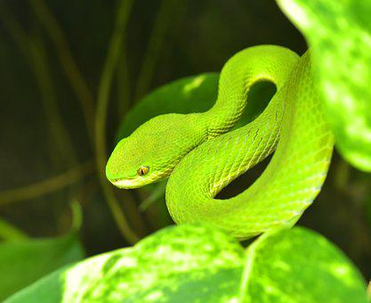 Green Buschviper, Atheris Squamigera, Bush Vipers