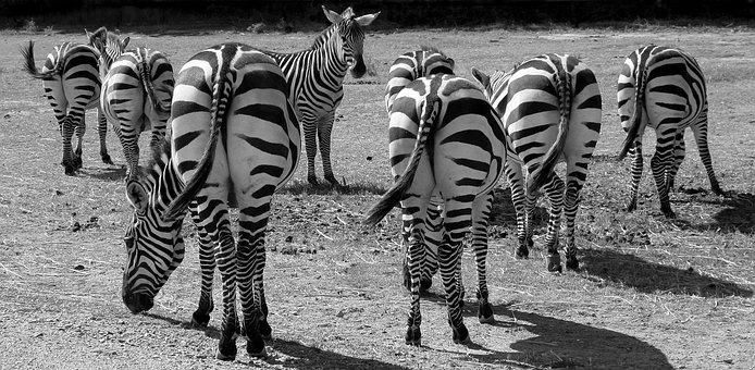 Zebras, Black And White, Stripes, Animal, Backside