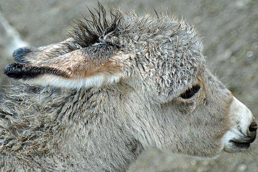 Burro, Ass, Animal, Farm Animal