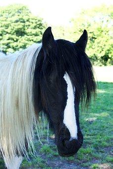 Horse, Cob, Piebald, Animal, Equestrian, Equine, Mane