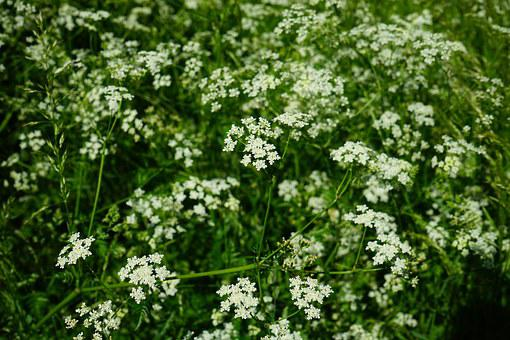 Pointed-chervil, Flowers, White, Anthriscus Sylvestris