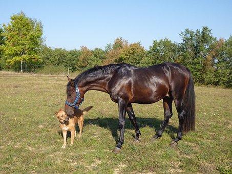 Horse, Pure Arab Blood, Horse Breeding, Equine, Horses