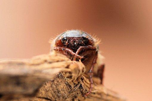 May Beetle, Scarab, Face, Brown, Hair, Springtime