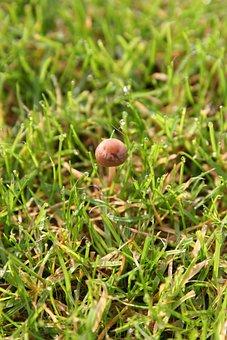 Morning, Mushroom, Grass, Rosa, Drops, Small