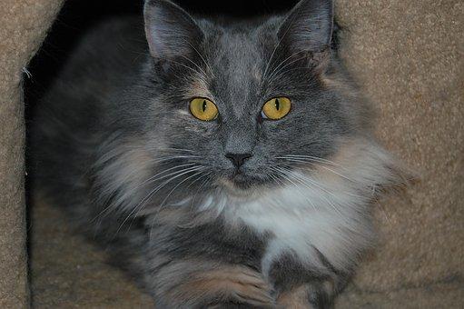 Cat, Longhair, Domestic, Pet, Fur, Cute, Mammal, Animal