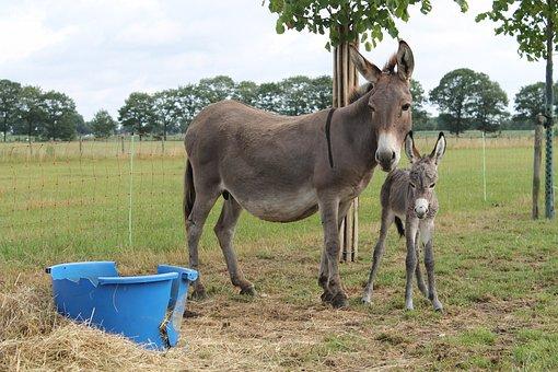Ass, Foal, Pet