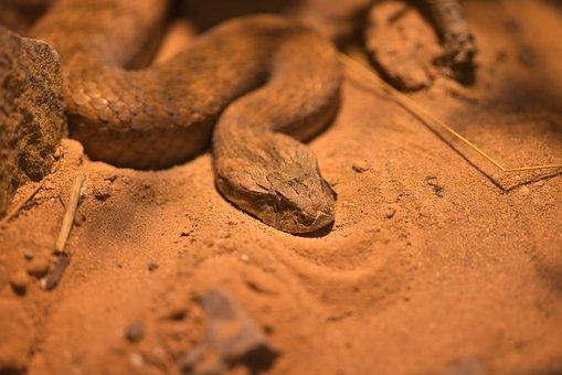 Death Otter, Acanthophis, Snake, Viepernartige
