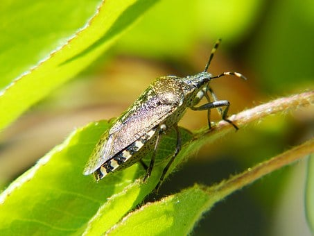 Shield Bug, Bug, Insect, Macro, Spotted, Garden