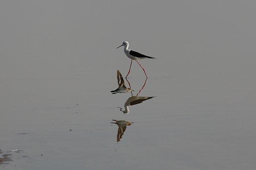 Little Ran Of Kutch, Bird, Gujarat, India, Stark, Kutch