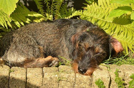 Dog, Dachshund, Pet, Long-haired, Sun, Sunlight, Heat