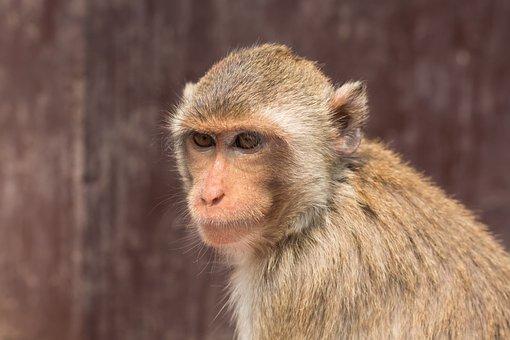 Monkey, Thailand, Lop Buri, Naughty, Persistent, Rush