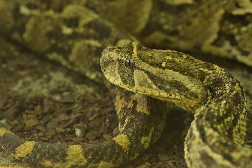 Puff Adder, Bitis Arietans, Venomous Snake, Dangerous