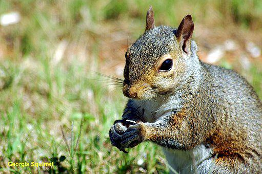 Squirrel, Wildlife, Animal, Rodent, Creature, Wild