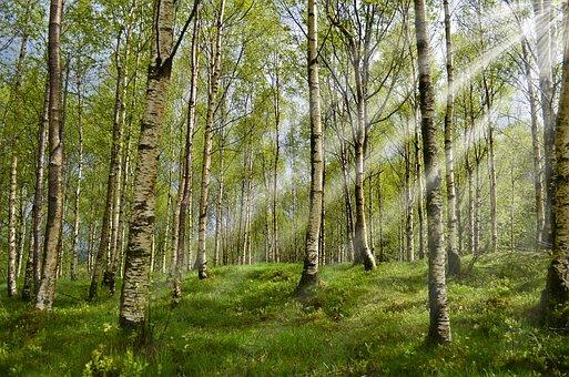Forest, Birch, Spring, Sunbeam, Allergy, Allergy-free