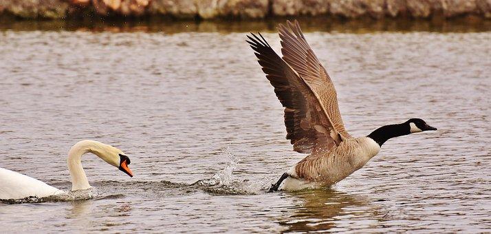 Swan, Wild Goose, Hunt, Hunting, Birds, Animals