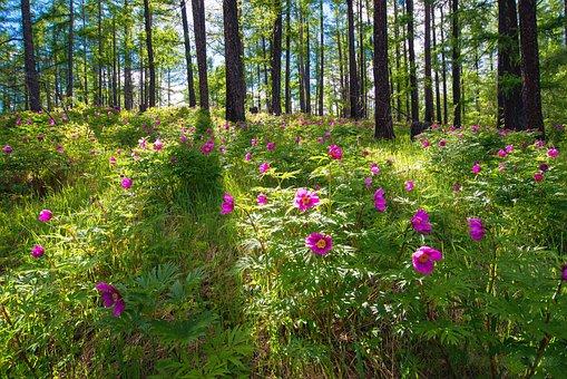 Flowers, Forest, Peony, June, Bogart Village, Mongolia