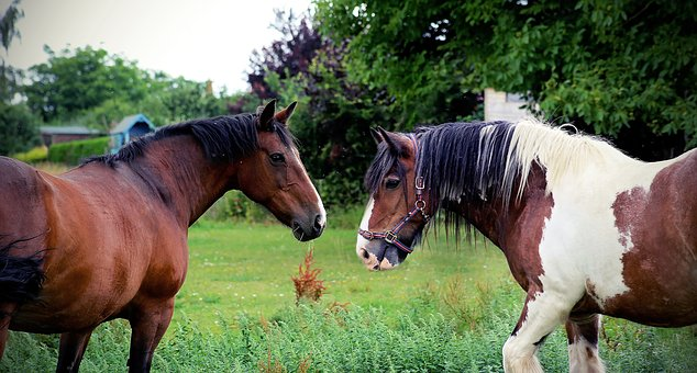 Horses, Equine, Equestrian, Animal, Mare, Brown, White