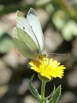 Butterfly, Libar, Pollen, Dandelion