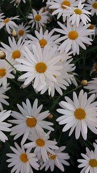 Chrysanthemum, Four Seasons, Small Daisy