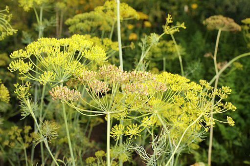 Dill, Cucumber Herb, Spices, Plant, Kitchen Herb