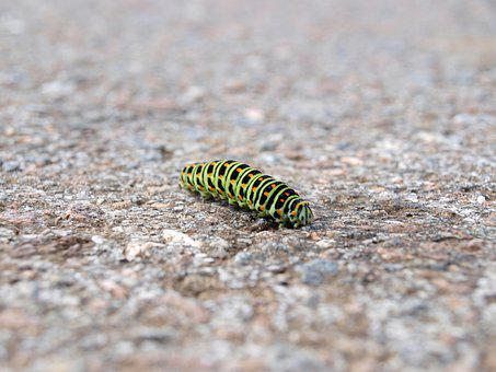 Caterpillar, Nature, Macro, Dovetail, Papilio Machaon