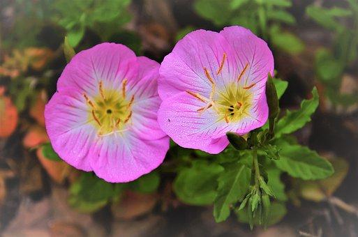 Texas Primrose, Evening, Bug, Pink, Flower, Wildflower