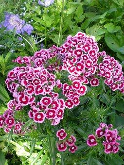 Borstnejlika, Flowers, Garden