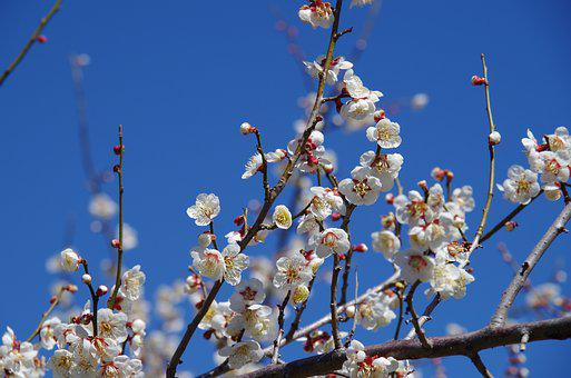 Flowers, Plum, Spring, Plum Blossoms, Pink, Red Plum