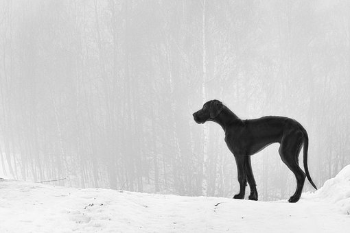 Puppy, Great Dane, Fog