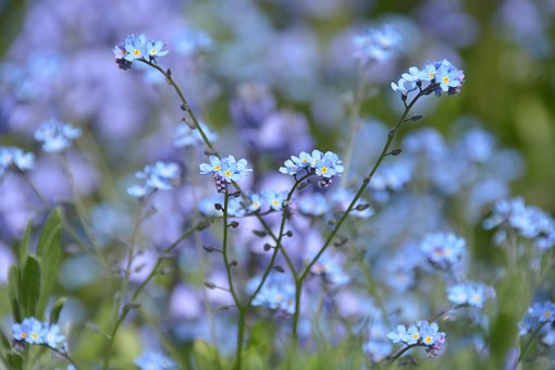 Flower, Blue, Forget Me Maybe, Grass